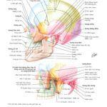 Atlas Giải Phẫu Đầu Cổ – Netter v6 2016