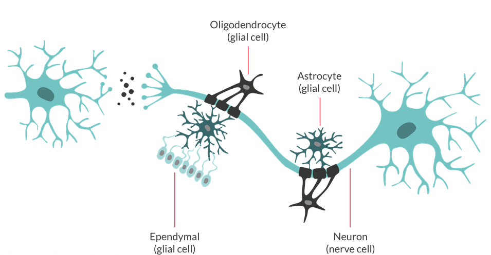 brain_cells_web_graphic.png__1024x0_q100_crop_subsampling-2_upscale